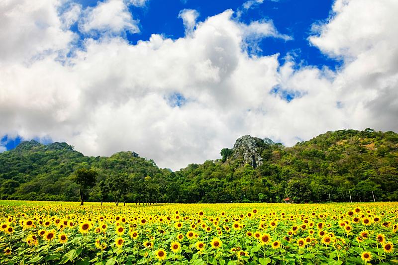 向日葵,水平画幅,夏天,户外,白人,特写,泰国,植物,农业,生长