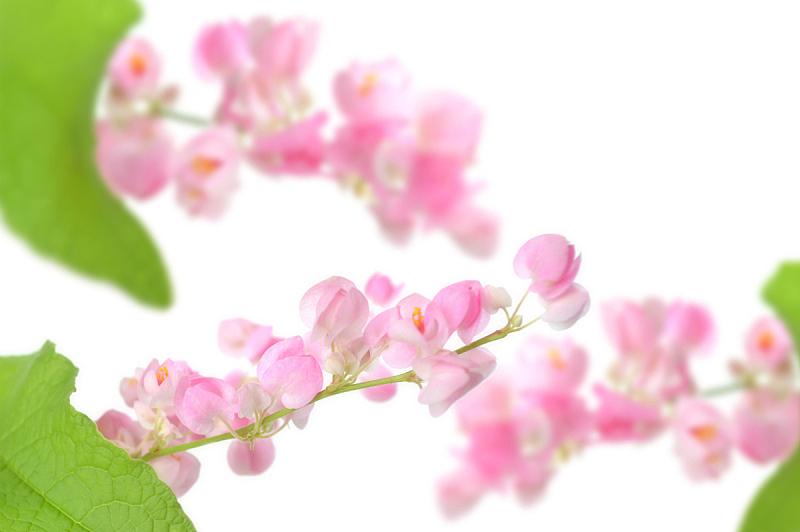 攀缘植物,蓝花藤,有蔓植物,水平画幅,绿色,无人,泰国,卷须,中间部分,白色