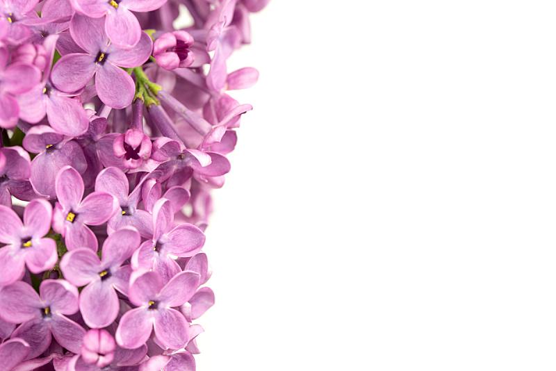 丁香花,温带的花,美,美国,水平画幅,无人,特写,花束,春天,植物