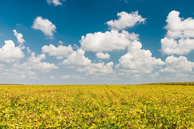 田地,单一栽培,天空,水平画幅,枝繁叶茂,无人,夏天,户外,大豆,豆