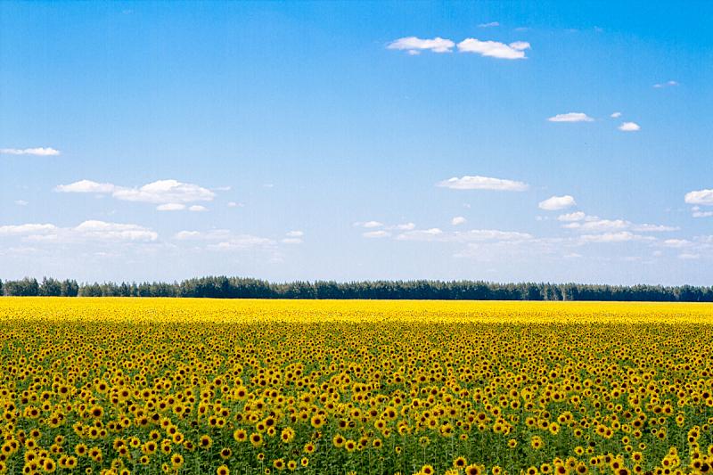 向日葵,天空,边框,水平画幅,蝴蝶,无人,古典式,夏天,户外,特写