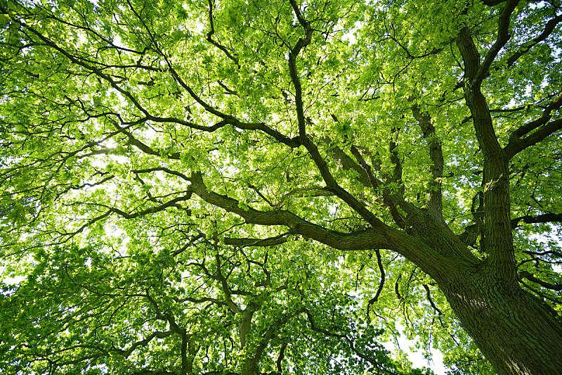 橡树,正下方视角,环境保护,树冠,枝,绿色,叶子,森林,水平画幅,枝繁叶茂