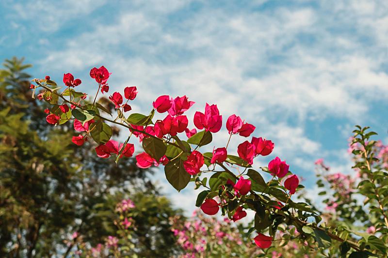 蓝色,粉色,背景,春天,在上面,天空,花朵,花,自然,式样