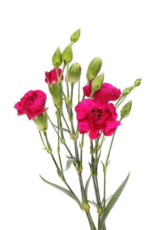 康乃馨,红色,白色背景,背景分离,垂直画幅,图像,花朵,英国,花瓣,叶子