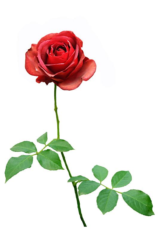 玫瑰,红色,白色背景,分离着色,垂直画幅,仅一朵花,明亮,花束,白色,情人节卡