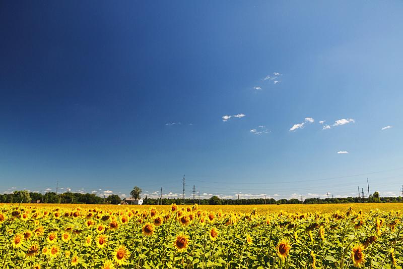 天空,夏天,明亮,田地,地形,蓝色,日光,向日葵,云,照亮