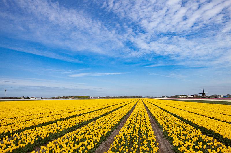 郁金香,黄色,古老的,风车,田地,远距离,农业,云,花鳞茎,天空