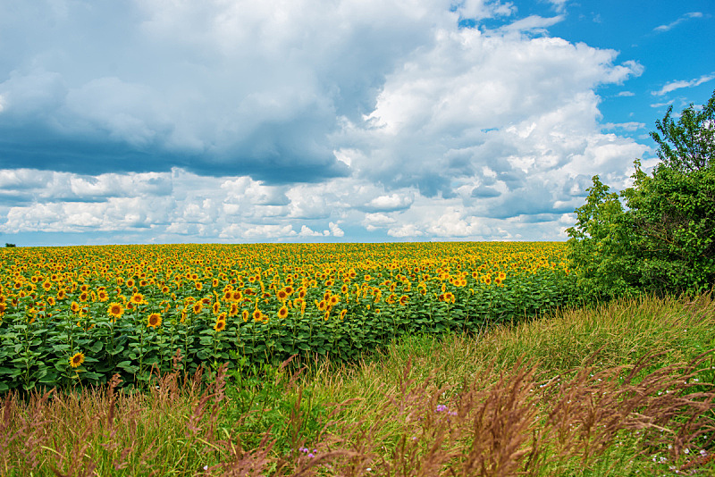 天空,曙暮光,云景,种植园,向日葵,毛绒绒,黄绿色,修改系列,自然美,日落