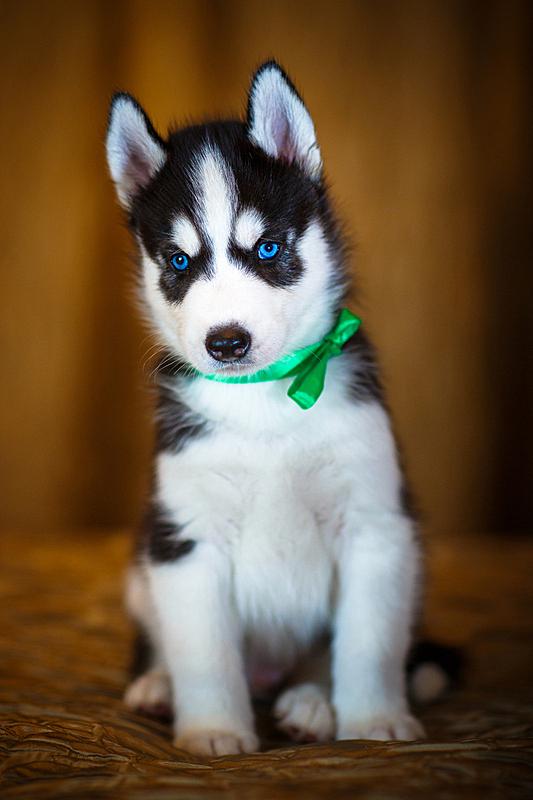 小狗,西伯利亚哈士奇犬,垂直画幅,美,纯种犬,小的,可爱的,无人,蓝色,犬科的