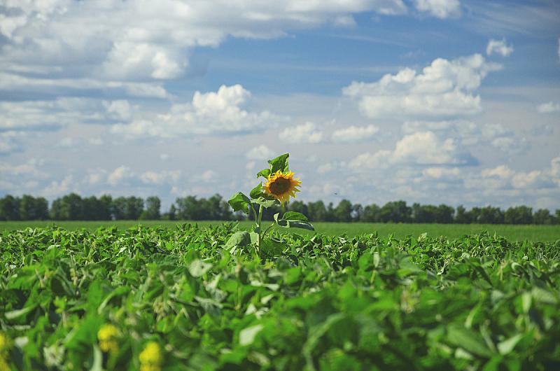 云,田地,向日葵,背景,大豆,绿色,自然美,栽培植物,一只动物,农业