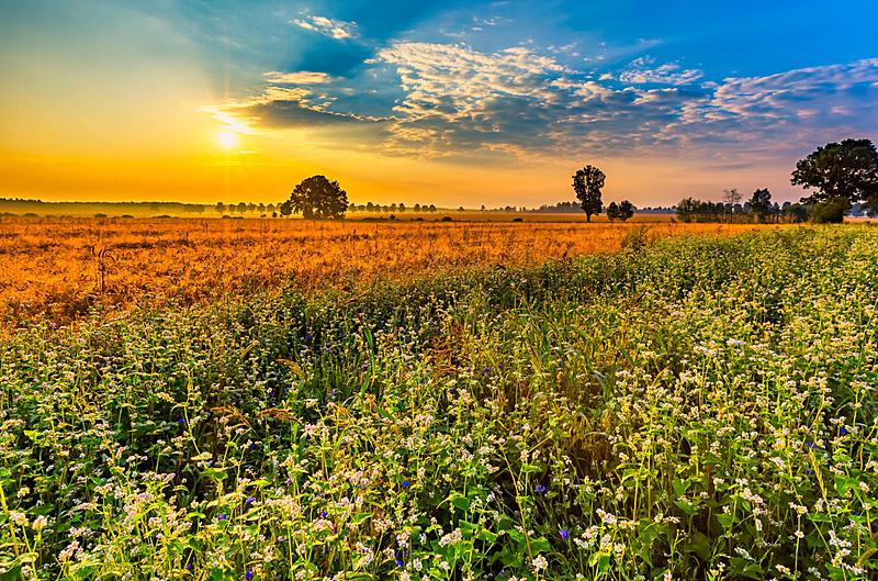 荞麦,夏天,地形,早晨,田地,自然,水平画幅,无人,黄昏,户外