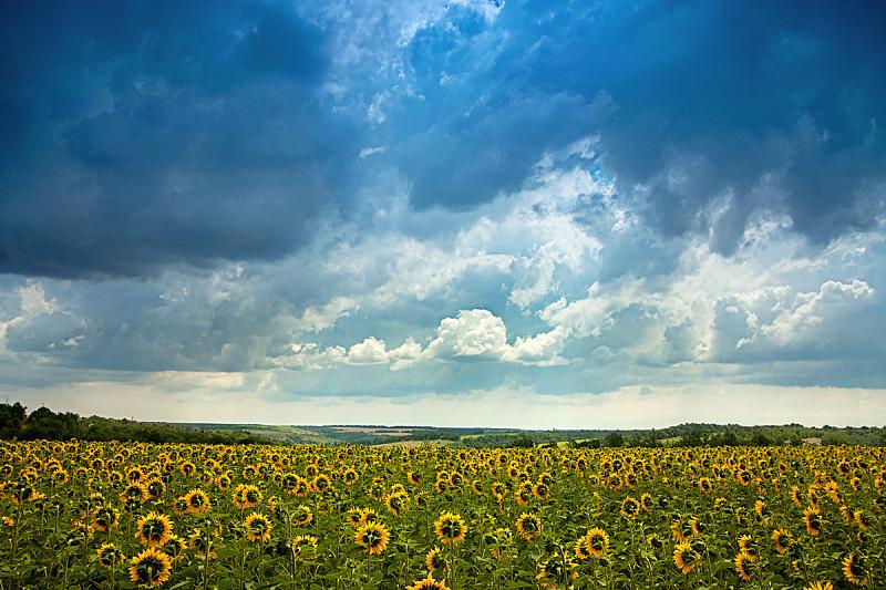 向日葵,田地,地形,农业,景观设计,自然美,农场,植物,2015年,夏天