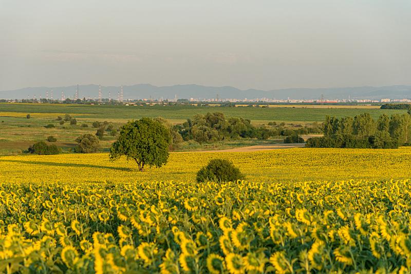 向日葵,田地,仅一朵花,种植园,天空,美,水平画幅,山,无人,夏天