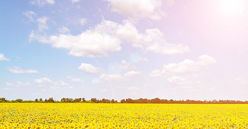 向日葵,田地,自然,圆形,水平画幅,无人,蓝色,夏天,户外,特写