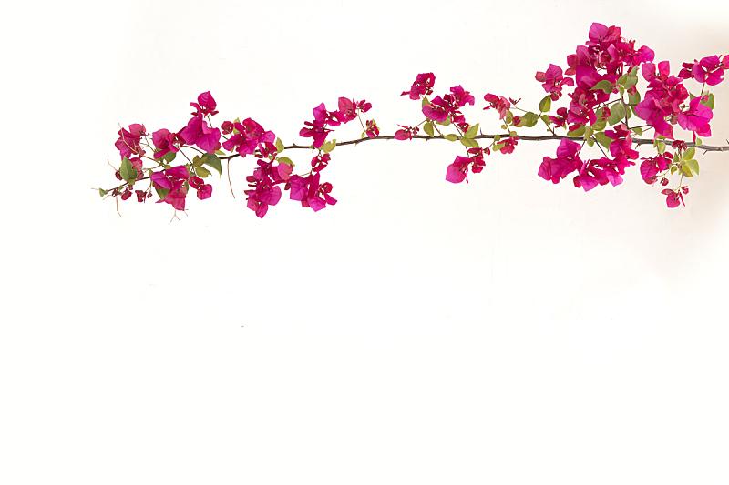 三角梅,白色背景,自然,太空,幸福,气候,水平画幅,夏天,泰国,植物