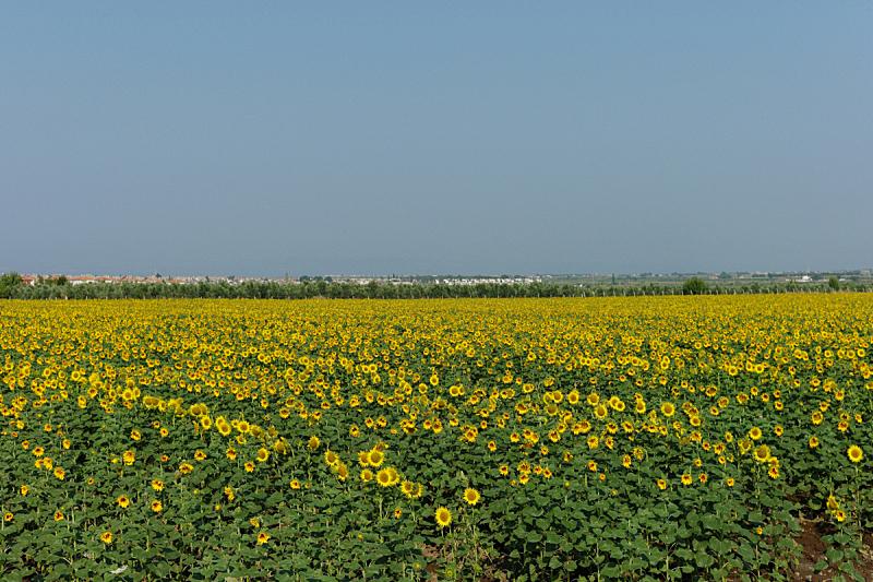 爱琴海,田地,土耳其,向日葵,海岸线,自然,水平画幅,绿色,无人,有机食品