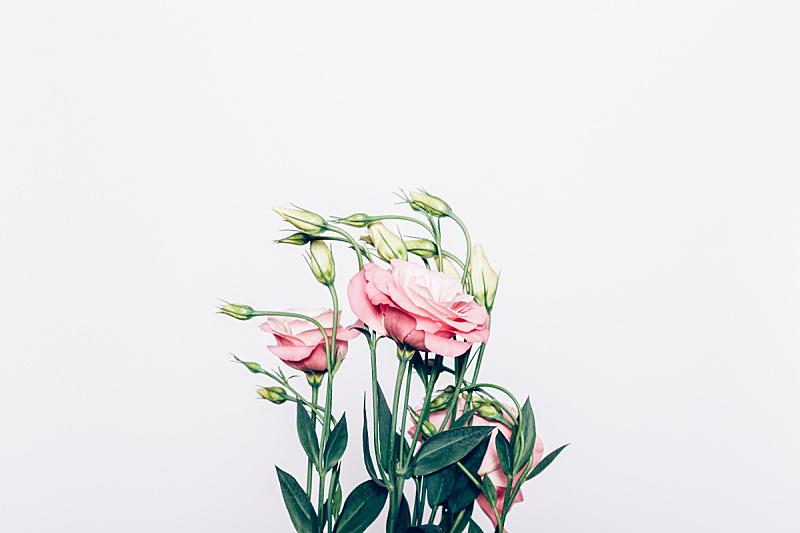 花束,粉色,高雅,白色背景,留白,水平画幅,枝繁叶茂,优美,夏天,洋桔梗