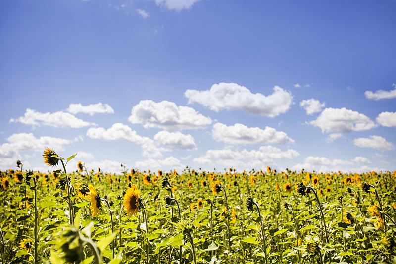 田地,向日葵,天空,水平画幅,无人,夏天,户外,魟,阳光光束,植物学