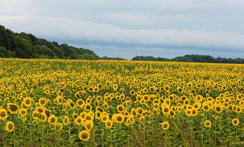 夏天,向日葵,白昼,田地,水平画幅,户外,草,图像,特写,植物