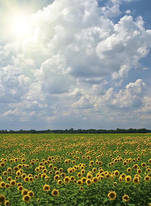 天空,多云,蓝色,向日葵,背景,垂直画幅,枝繁叶茂,无人,夏天,户外