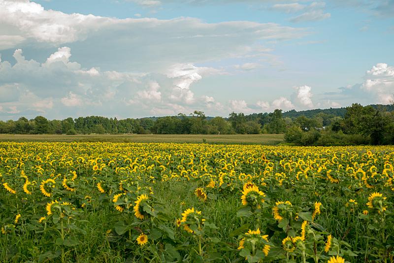田地,向日葵,在下面,早晨,日光,美,水平画幅,无人,夏天,户外