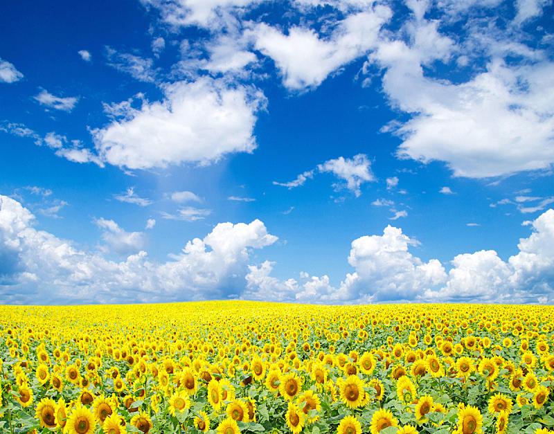 田地,向日葵,自然,天空,草地,水平画幅,无人,蓝色,户外,仅一朵花