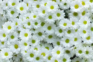 白色,菊花,自然,水平画幅,绿色,无人,组物体,特写,明亮,自然美