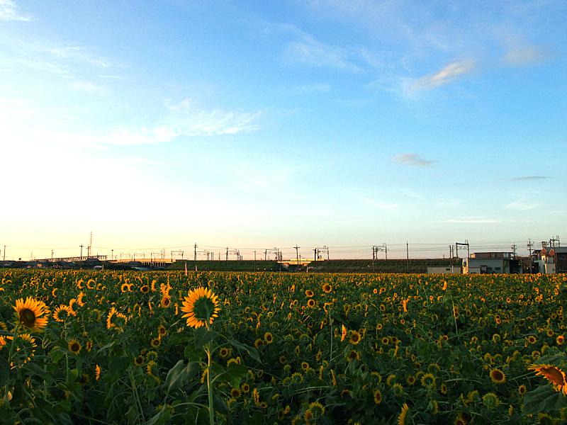 向日葵,田地,水平画幅,地形,无人,日本,农场,户外,广岛,摄影