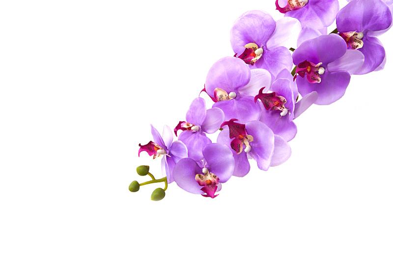 兰花,仅一朵花,分离着色,蝴蝶兰,水平画幅,无人,紫色,粉色,花头,特写