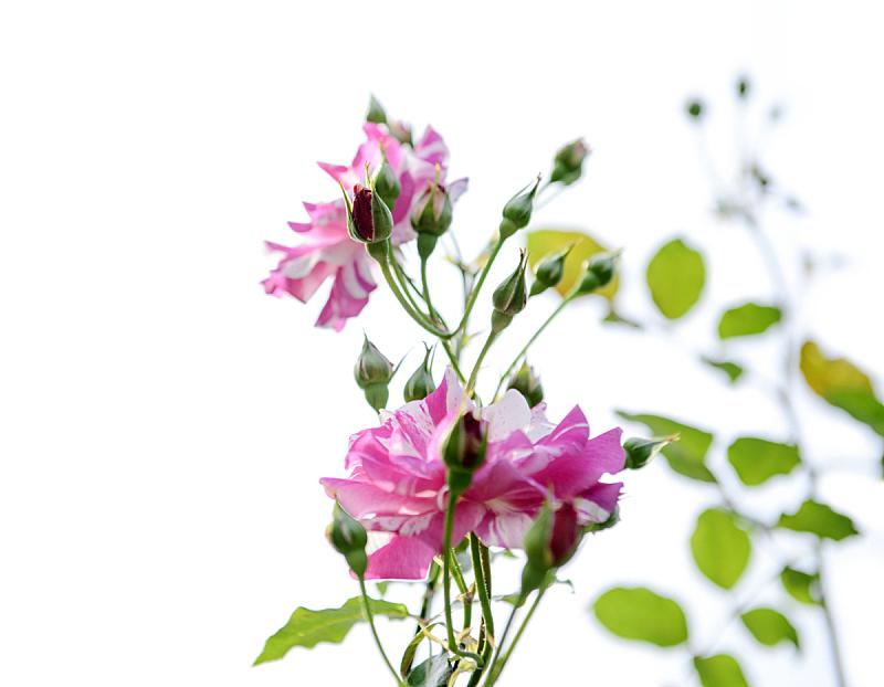 花蕾,玫瑰,自然,水平画幅,户外,特写,脆弱,华丽的,花束,礼物
