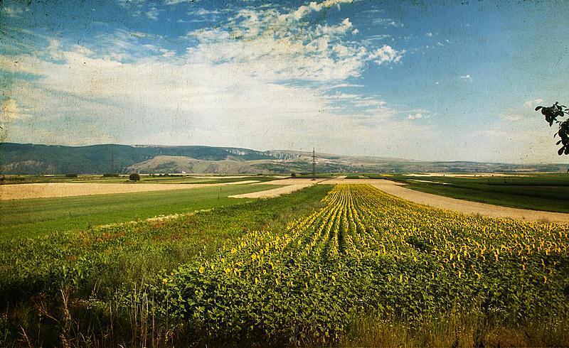 向日葵,田地,水平画幅,无人,夏天,户外,植物,植物学,农业,叶子