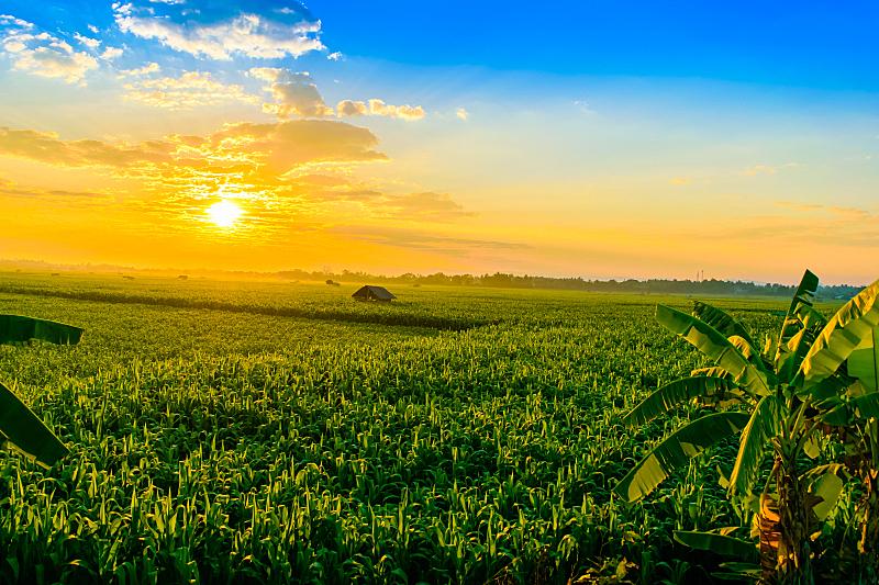 田地,玉米,在上面,黎明,天空,水平画幅,无人,早晨,草坪,夏天