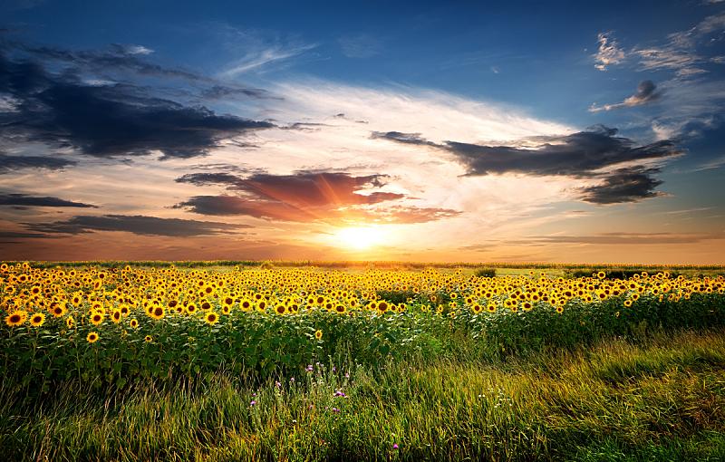 向日葵,田地,向日葵属 ,天空,夜晚,早晨,夏天,草,农作物,彩色图片
