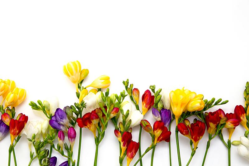 浪漫,小苍兰,春天,背景,特写,旅游目的地,白色背景,自然美,花,布置