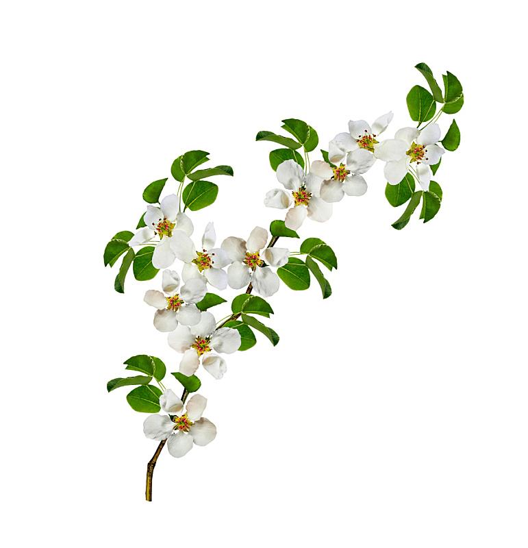 分离着色,白色背景,梨树,杏树,梨,垂直画幅,美,复活节,边框,樱花