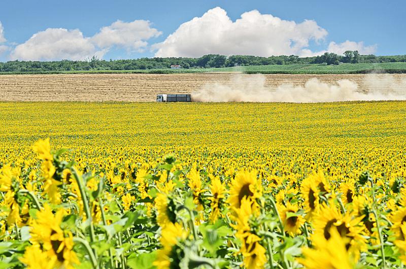 向日葵,农场,拖车,天空,夏天,农作物,地平面,花头,种植园,草地
