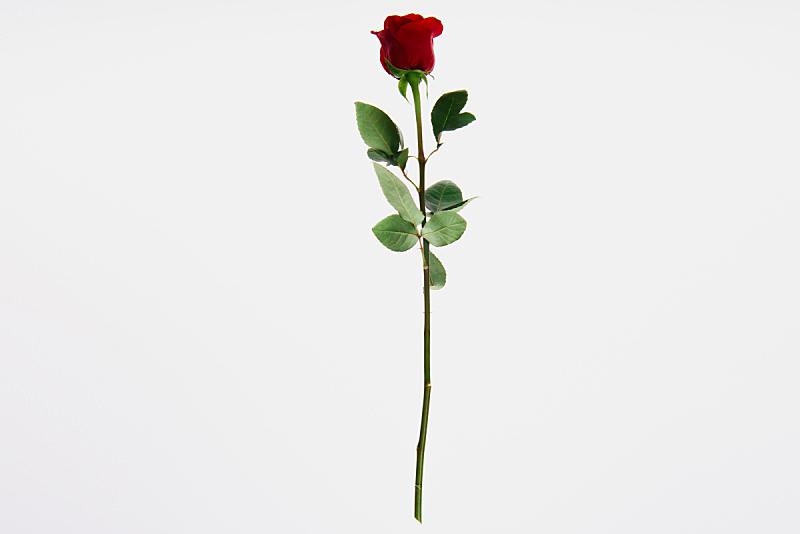 玫瑰,红色,白色,分离着色,自然美,美,留白,水平画幅,无人,植物