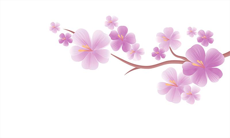 樱花,矢量,白色背景,紫色,枝,分离着色,樱之花,美,水平画幅,樱桃