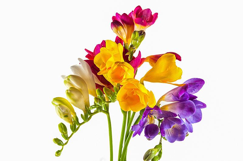 风信子,多色的,仅一朵花,生日,自然,黄色,白昼,红色,事件,季节