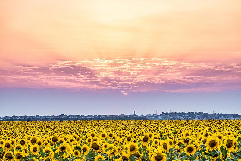 黄昏,云,自然美,向日葵,花朵,日光,田地,平原,地形,日落