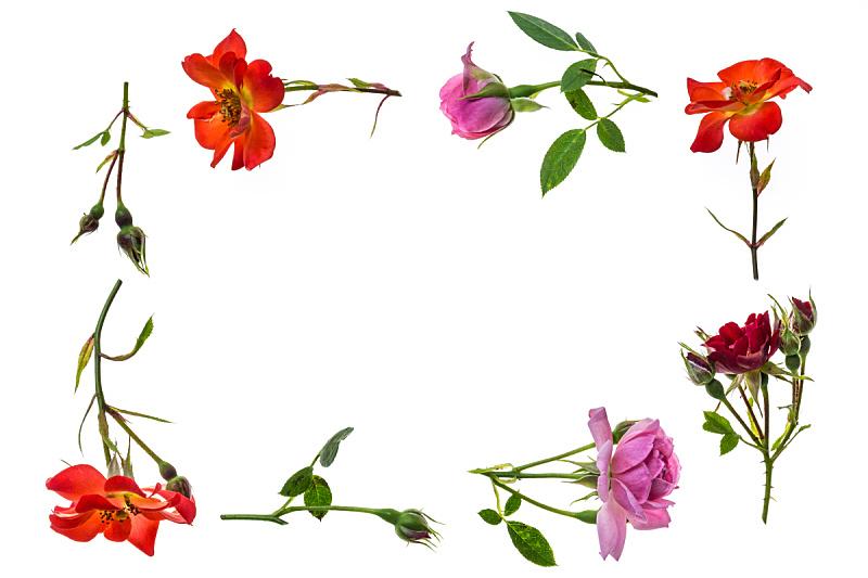 茶味玫瑰,边框,白色背景,古玫瑰,留白,水平画幅,无人,玫瑰,明亮,花蕾