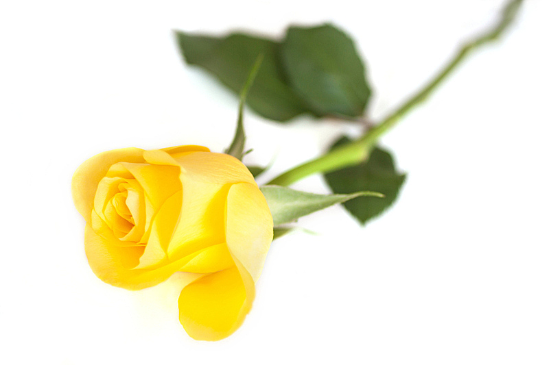 玫瑰,黄色,自然,美,水平画幅,无人,色彩鲜艳,背景分离,完美,明亮