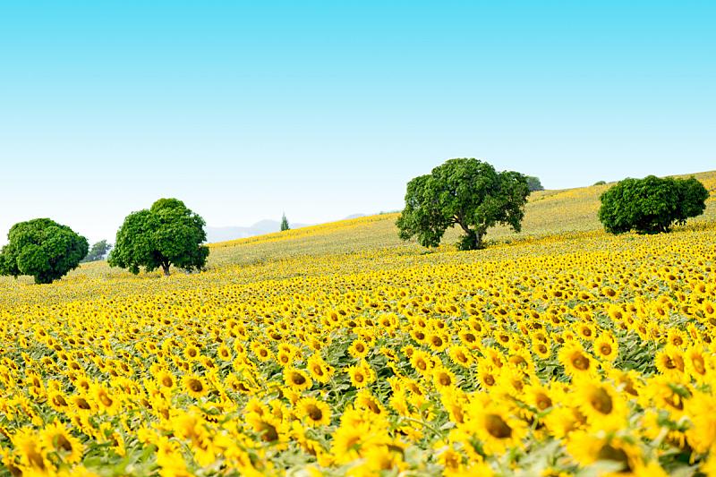 黄色,向日葵,让路标志,自然,圆形,水平画幅,形状,雄蕊,无人,夏天