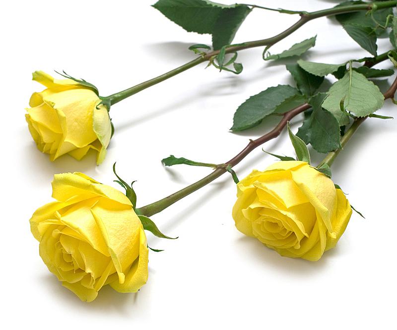 绿色,玫瑰,黄色,叶子,自然,水平画幅,无人,背景分离,花,摄影