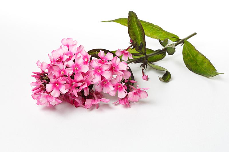 草夹竹桃属,花序,白色背景,粉色,分离着色,美,水平画幅,无人,符号,纯净