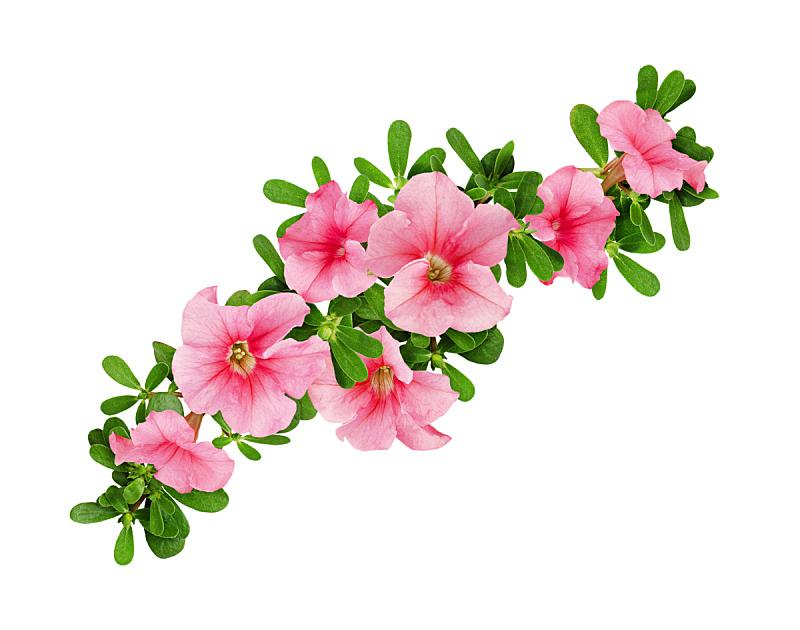 矮牵牛花,叶子,波浪,美,兰花,公园,水平画幅,无人,夏天,户外