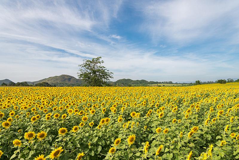 田地,向日葵,天空,水平画幅,无人,夏天,户外,植物,农业,季节