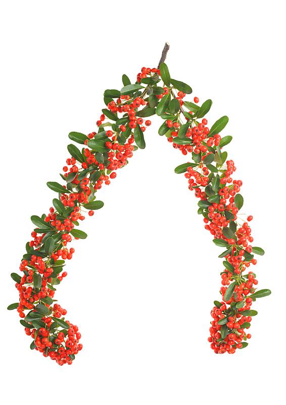 火棘,自然,垂直画幅,无人,浆果,荆棘,白色背景,红色,圣诞装饰物,植物