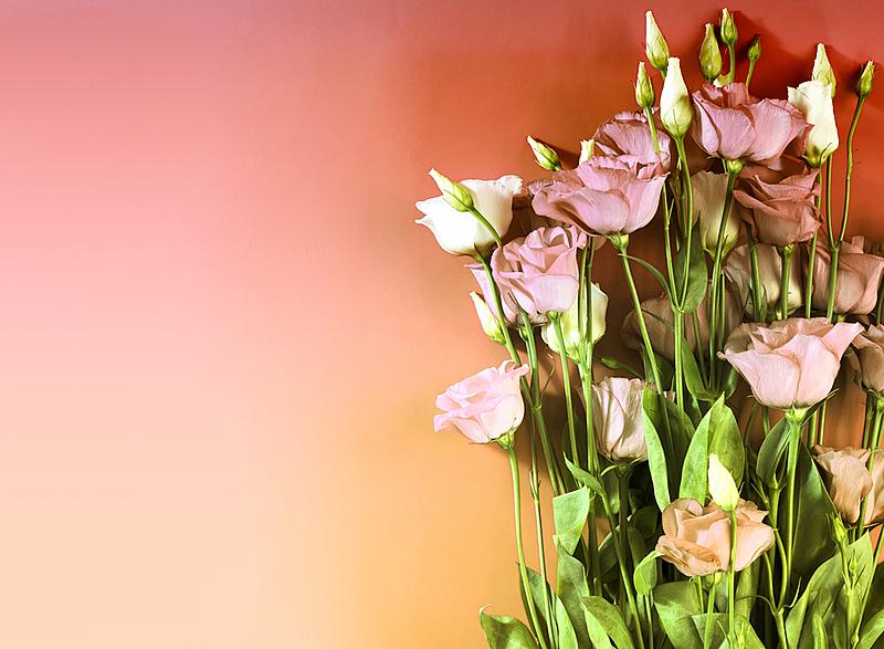 白色,粉色,粉色背景,请柬,清新,浪漫,婚礼,芳香疗法,古典式,柔和色