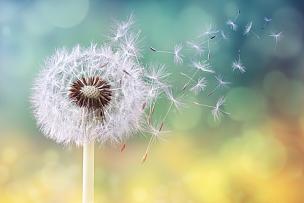 蒲公英,日光,早晨,记时卡片,脆弱,蒲公英种子,运气,风,花粉,新生活